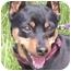 Photo 4 - Miniature Pinscher Dog for adoption in Greensboro, North Carolina - Zoe