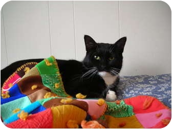 Domestic Shorthair Cat for adoption in Putnam Valley, New York - Lolita