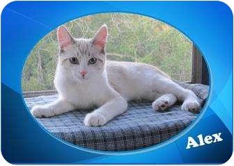 Snowshoe Kitten for adoption in Encinitas, California - Alex