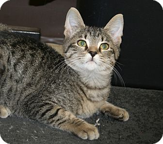 American Shorthair Cat for adoption in Foster, Rhode Island - Brockie
