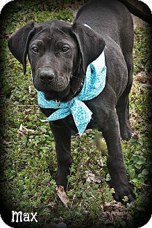 Labrador Retriever Mix Puppy for adoption in Brattleboro, Vermont - MAX