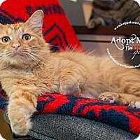 Domestic Shorthair Cat for adoption in Grinnell, Iowa - Pumpkin