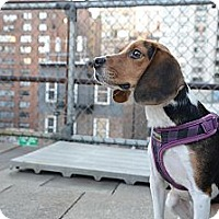 Adopt A Pet :: Chauncey - New York, NY