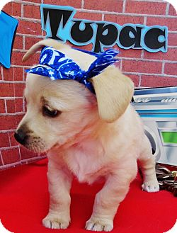Terrier (Unknown Type, Small)/Spaniel (Unknown Type) Mix Puppy for adoption in Irvine, California - Tupac