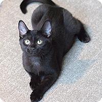 Adopt A Pet :: Ani - Chicago, IL