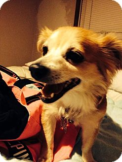 Pomeranian Mix Dog for adoption in Hazel Park, Michigan - Lola