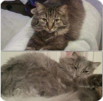 Maine Coon Cat for adoption in Mesa, Arizona - Gizzie