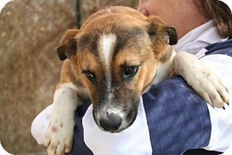 Cattle Dog/Beagle Mix Puppy for adoption in Phoenix, Arizona - Bam bam