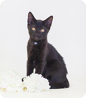 Domestic Shorthair Kitten for adoption in Redding, California - Dunn