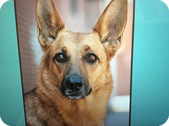 German Shepherd Dog Dog for adoption in Los Angeles, California - GRETA VON GOSLAR