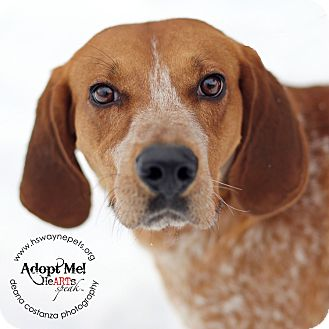 Redtick Coonhound Mix Dog for adoption in Lyons, New York - Rusty