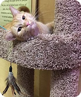 Domestic Shorthair Cat for adoption in San Jose, California - Izzy-C