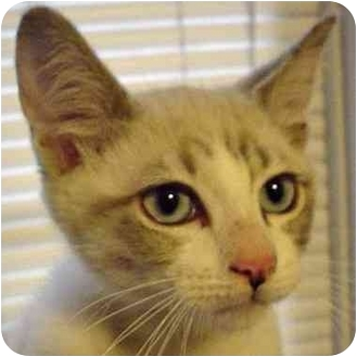 Siamese Cat for adoption in Houston, Texas - Kelly