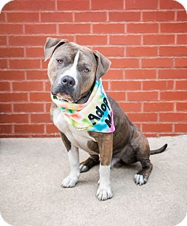 American Pit Bull Terrier Mix Dog for adoption in Brooklyn, New York - Dominick