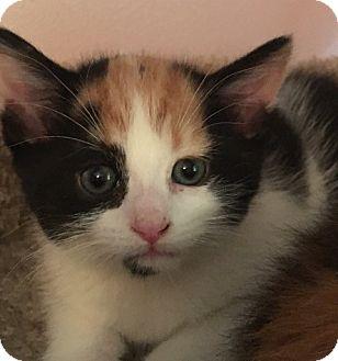 American Shorthair Kitten for adoption in Rockford, Illinois - Veronica