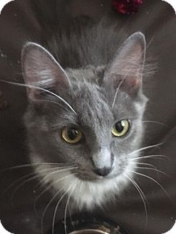 Domestic Mediumhair Cat for adoption in Huntley, Illinois - Darling