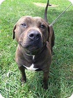 Pit Bull Terrier Mix Dog for adoption in Pataskala, Ohio - Daniel