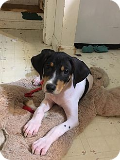 Hound (Unknown Type) Mix Puppy for adoption in WESTMINSTER, Maryland - Professor