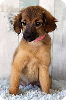 Chihuahua Mix Puppy for adoption in Waldorf, Maryland - Queso