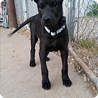 Adopt A Pet :: Ace - Norman, OK