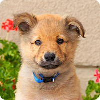 Adopt A Pet :: Klaus von Wuste - Thousand Oaks, CA