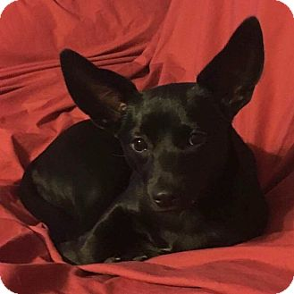Rat Terrier/Chihuahua Mix Puppy for adoption in Morgantown, West Virginia - Ella