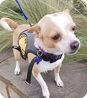 Chihuahua Mix Dog for adoption in Danbury, Connecticut - Sparky