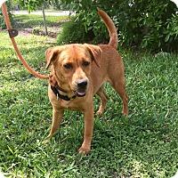 Retriever (Unknown Type) Mix Dog for adoption in Boca Raton, Florida - Katie
