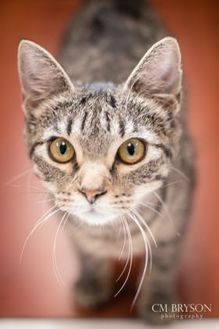 Domestic Shorthair/Domestic Shorthair Mix Cat for adoption in Madison, Georgia - Clove