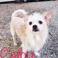 Cairn Terrier Mix Dog for adoption in Plano, Texas - Cathy