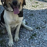 Adopt A Pet :: BULL WINKLE - Cadiz, OH