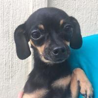 Adopt A Pet :: Little Foot - Loxahatchee, FL