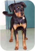 Rottweiler Puppy for adoption in Oswego, Illinois - PENNY