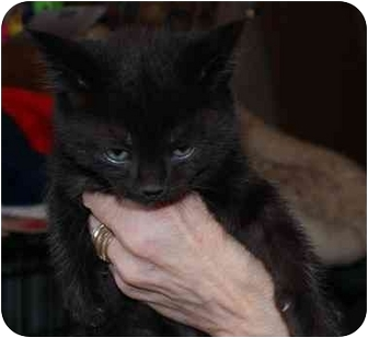 Domestic Mediumhair Kitten for adoption in Millerton, Pennsylvania - Kitten 4