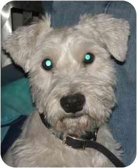 Schnauzer (Miniature)/Schnauzer (Miniature) Mix Dog for adoption in Wylie, Texas - Skippy