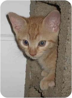 Domestic Shorthair Kitten for adoption in Davis, California - Helios