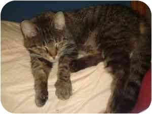 Domestic Shorthair Cat for adoption in Greensboro, Georgia - Katie Bug