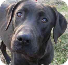 Labrador Retriever Mix Dog for adoption in Kansas City, Missouri - Courtesy List-Christina