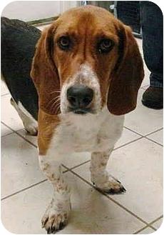 Basset Hound Mix Dog for adoption in Pisgah, Alabama - Josie