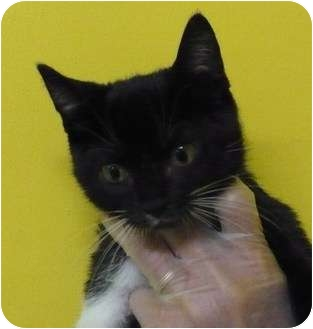 Domestic Shorthair Kitten for adoption in Eastpoint, Florida - Athena
