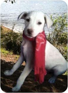 Labrador Retriever/Terrier (Unknown Type, Small) Mix Puppy for adoption in Santa Monica, California - ANDRE