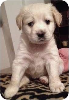 Goldendoodle/Field Spaniel Mix Puppy for adoption in Orlando, Florida - Escobar#7F