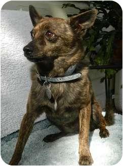 Chihuahua/Pomeranian Mix Dog for adoption in Umatilla, Florida - Tanner