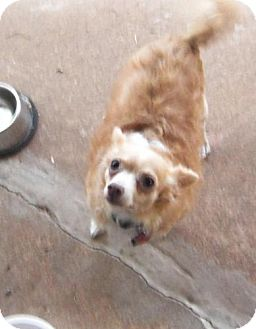 Chihuahua/Poodle (Toy or Tea Cup) Mix Dog for adoption in Edmond, Oklahoma - Trampus