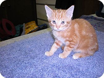 "Domestic Shorthair Kitten for adoption in New Castle, Pennsylvania - "" Rascal """