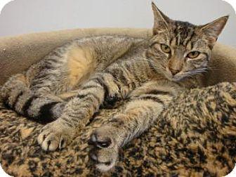 Domestic Shorthair Cat for adoption in Gainesville, Florida - Darla