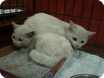 Domestic Shorthair Kitten for adoption in Pittstown, New Jersey - Koda and Jesse