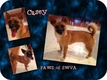 Chihuahua Mix Dog for adoption in Coeburn, Virginia - Casey