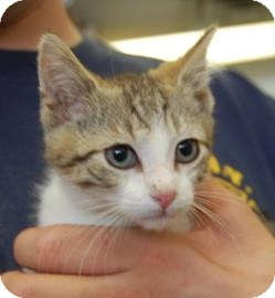 Domestic Shorthair Cat for adoption in Brooklyn, New York - Archie