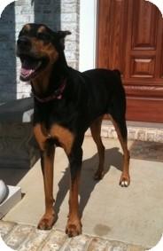 Doberman Pinscher Dog for adoption in Richmond, Virginia - Princess Leia